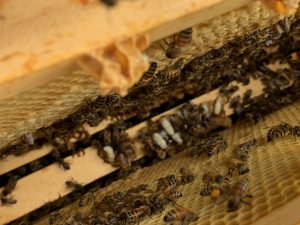 Dead bee larvae