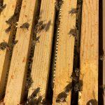 Top box bees